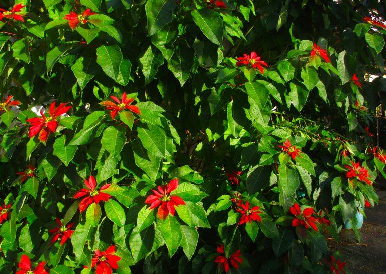 Αλεξανδρινό, το κόκκινο λουλούδι του Άγιου Βασίλη, γράφει η Γιάννα.