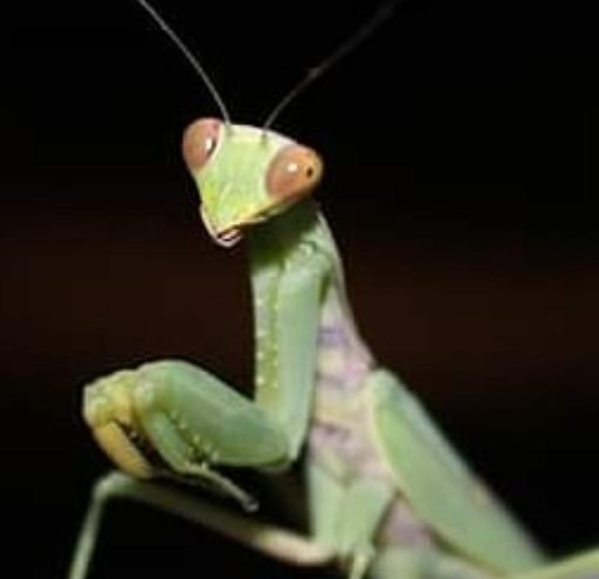 Mantis Religioza - το πιο επικίνδυνο έντομο. Το θηλυκό αποκεφαλίζει το αρσενικό και το τρώει μόλις ολοκληρώσει την ερωτική πράξη. 2 στα 10 αρσενικά γλυτώνουν. Θετική σκέψη! Φωτογραφία: Δημήτρης Φραγκούλης, 2018